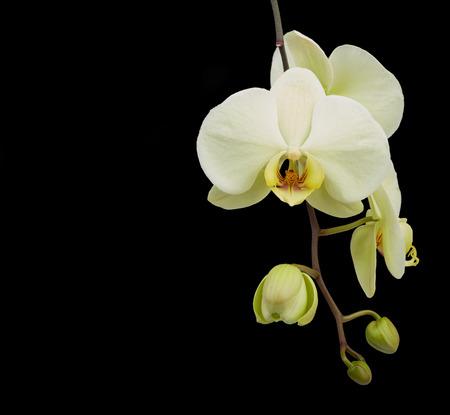 Witte orchideebloem die op zwarte achtergrond wordt geïsoleerd Stockfoto