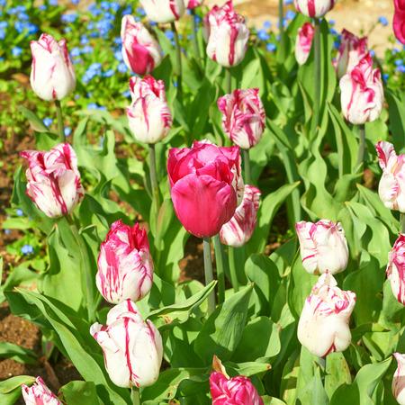 Flowers red tulips lit summer sun photo