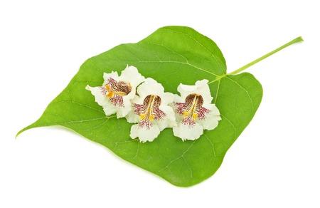 catalpa: White flowers catalpa isolated on white background
