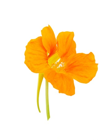 nasturtium: Nasturtium Orange flower isolated on a white background
