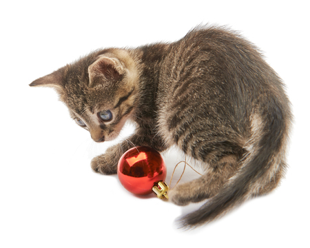 christmas pussy: Soft fluffy kitten in blue sweater playing with Christmas balls on white background Stock Photo