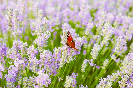 flowers field: Butterfly on lilac lavender flowers field background