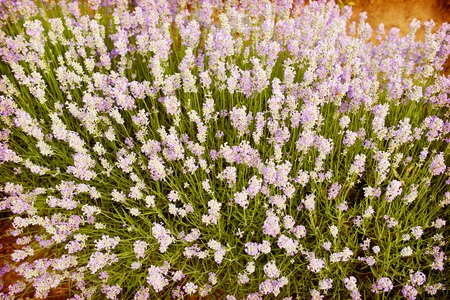 lavendin: Field of lilac lavender flowers in Bulgaria Stock Photo
