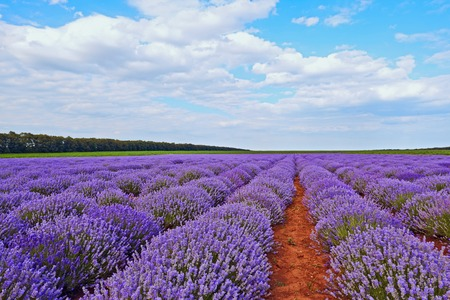 french perfume: Field of lilac lavender flowers in Bulgaria Stock Photo