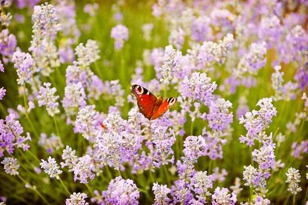 flor de lavanda: Mariposa en lila flores de lavanda fondo del campo