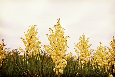 filamentous: Yucca flower, tree of happiness, background