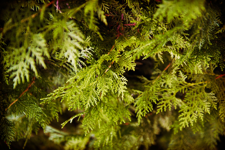 arborvitae: The leaves of arborvitae branches natural background