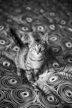 british pussy: Little tabby kitten on the carpet, animal Stock Photo