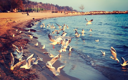 flurry: Birds seagulls on the shore of the Black Sea in Bulgaria