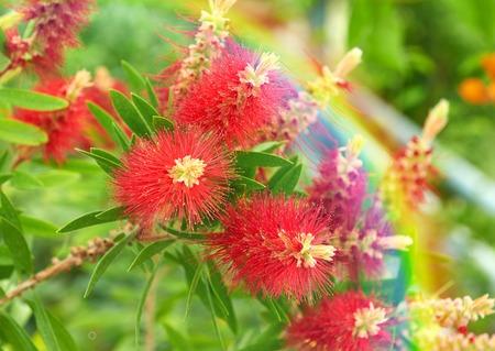 Callistemon flowers red tree and rainbow nature background Stock Photo