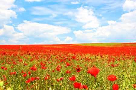 landscape flowers: Landscape of poppies field of red flowers in Bulgaria