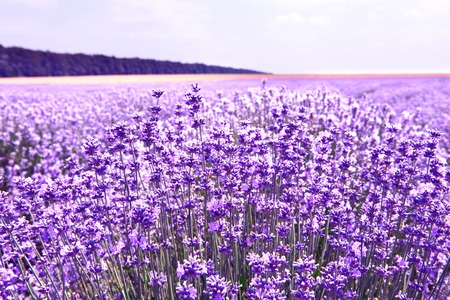 Lavender flowers lilac violet nature summer field background