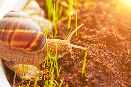 beautiful natural snail crawls on the ground with grass Stock Photo
