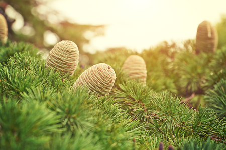 Closeup of large cones of fir against the background of the branches of the pine trees lit the sun