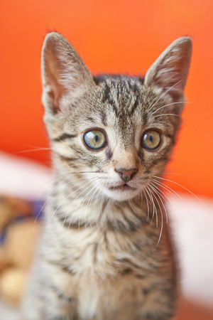 Portrait of a surprised cat striped, closeup, isolated on red background Stock Photo