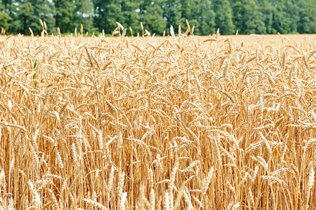 backdrop of ripening ears of yellow wheat field Close up nature photo Idea of a rich harvest