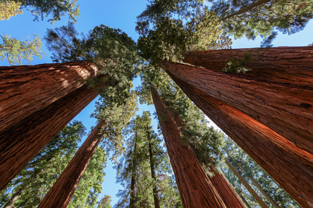 Giant sequoia trees in Sequoia National Park, California photo
