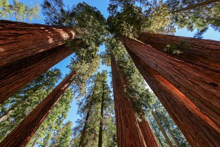 sequoia: Giant tree closeup in Sequoia National Park