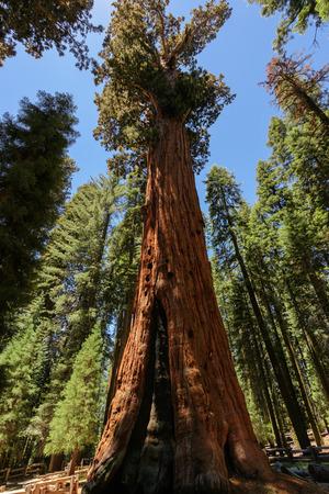 sequoia: Giant sequoia trees in Sequoia National Park, California Stock Photo