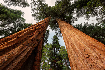 sequoia: Giant Sequoia Trees, Sequoia National Park, California Stock Photo