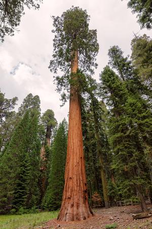 sequoia: Giant Sequoia Tree, Sequoia National Park, California Stock Photo
