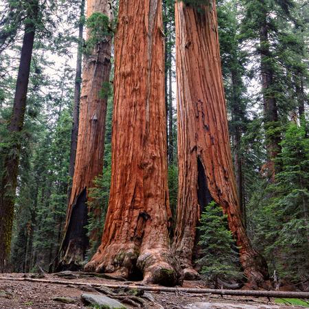 sequoia national park: Giant sequoia forest, Sequoia National Park, California