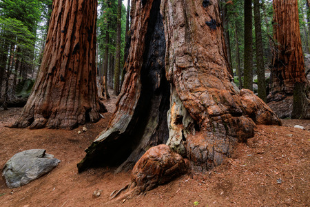 Giant Sequoia Trees in Sequoia National Park, California 免版税图像 - 44111990