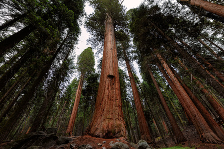Mammoetboom bos in Sequoia National Park, Californië Stockfoto