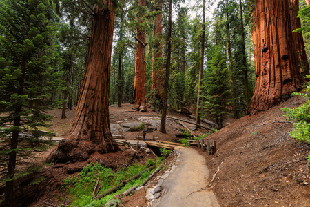 kings canyon national park: Giant Sequoia Trees, Sequoia National Park, California Stock Photo