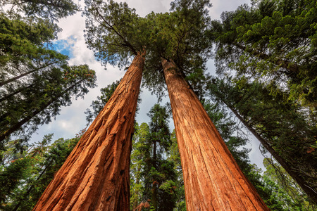 tallest: Giant sequoia tree closeup in Sequoia National Park