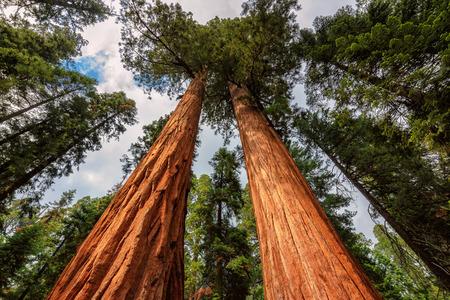 sequoia: Giant sequoia tree closeup in Sequoia National Park