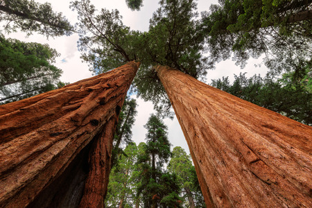sequoia: Giant Sequoia Trees at Sequoia National Park