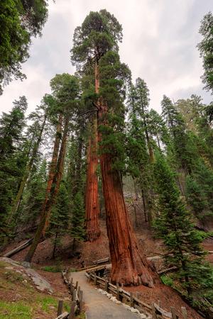 sequoia: Giant Sequoia Trees in Sequoia National Park, California