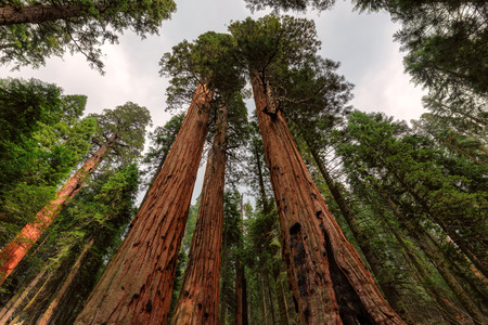 Giant sequoia forest in Sequoia National Park