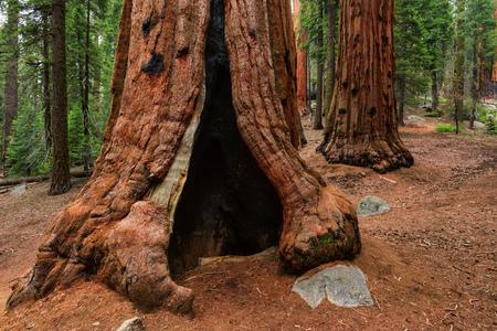 Sequoia hole in a tree 免版税图像
