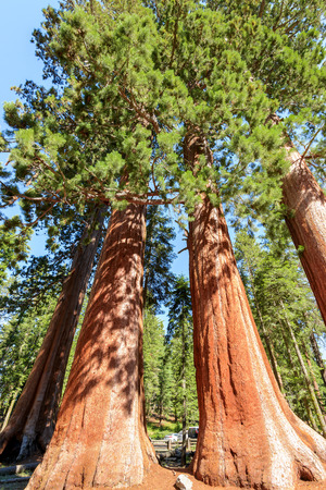 sequoia: Giant Sequoias Forest. Sequoia National Forest in California Stock Photo