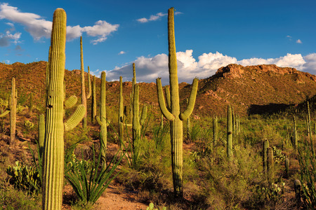 tucson: Saguaro Cactus at sunset in Saguaro National Park near Tucson, Arizona. Stock Photo