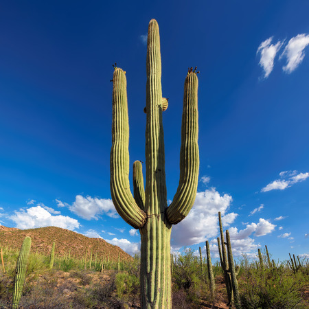 sonoran desert: Saguaro Cactus on the Sonoran desert in Arizona Stock Photo