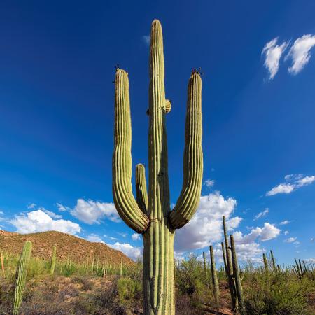saguaro cactus: Saguaro Cactus on the Sonoran desert in Arizona Stock Photo