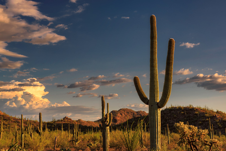 Saguaro cactus at sunset in Tuscon, Arizona