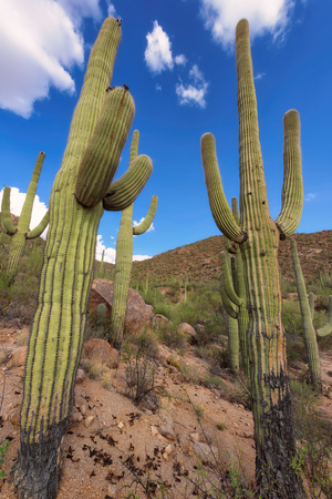 Saguaro and the mountains in the Sonoran desert of Arizona