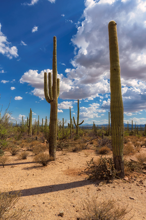 gigantea: Saguaro cactus landscape, Carnegiea gigantea, Saguaro National Park, Arizona.