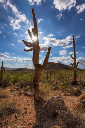 desert ecosystem: Sun light illuminates Saguaros in Sonoran Desert. Stock Photo