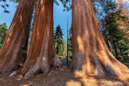 sierra nevada: Redwood Trees in Sequoia National Park, California. Stock Photo