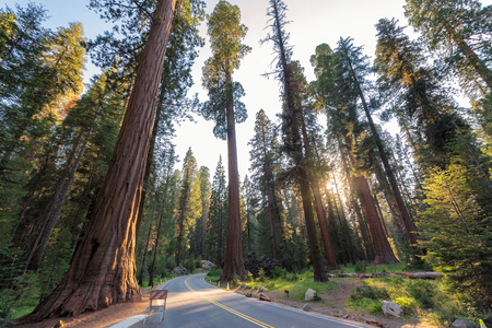 Driving through giants sequoias in Sequoia National Park.