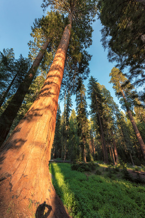 Giant Sequoia at sunset in Sequoia National Park.