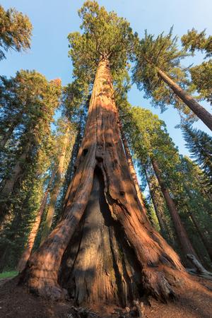 Giant tree closeup in Sequoia National Park, California. Stock Photo
