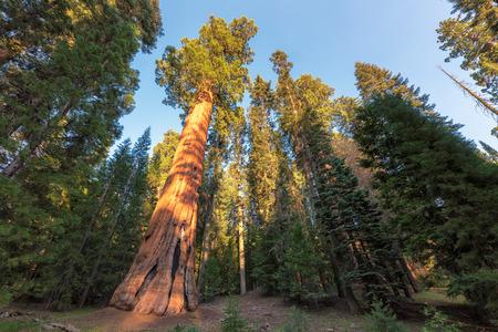 Giant Sequoia in Sequoia National Park.