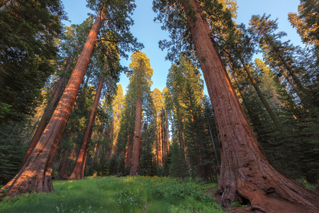 Giant Sequoias Forest. Sequoia National Forest in California Sierra Nevada Mountains, United States.
