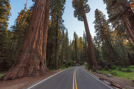 Sequoia National Park Road through the redwoods. California. Stock Photo
